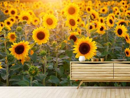 Fototapet Sunflower field