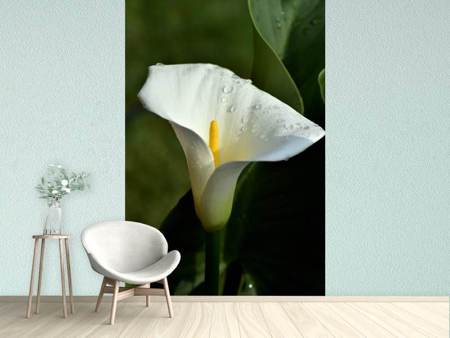 Fototapet White calla with morning dew
