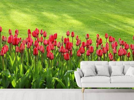 Photo Wallpaper Red tulip field in the sunlight