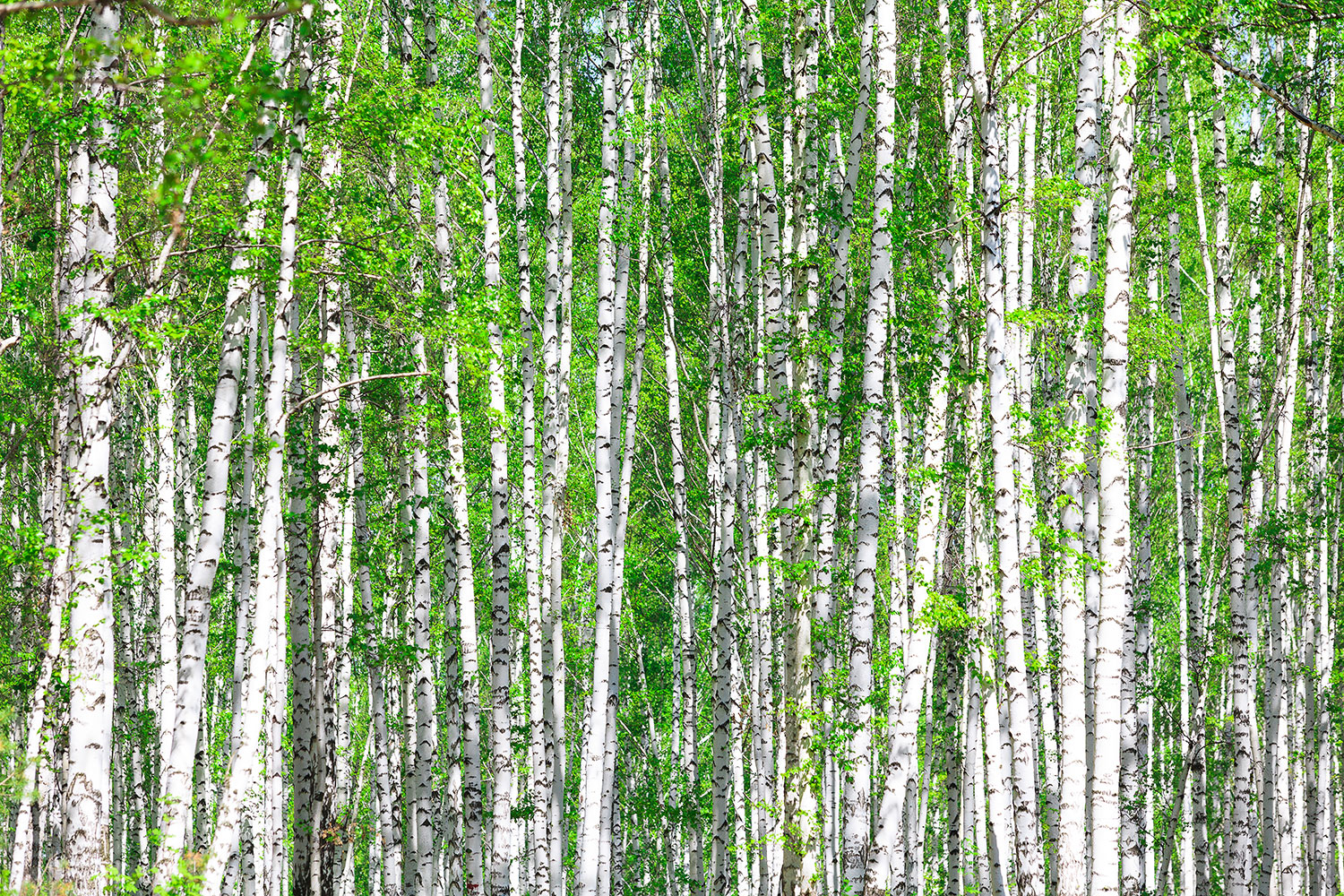 Photo Wallpaper The Birch Forest