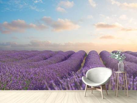 Fototapet The Blooming Lavender Field